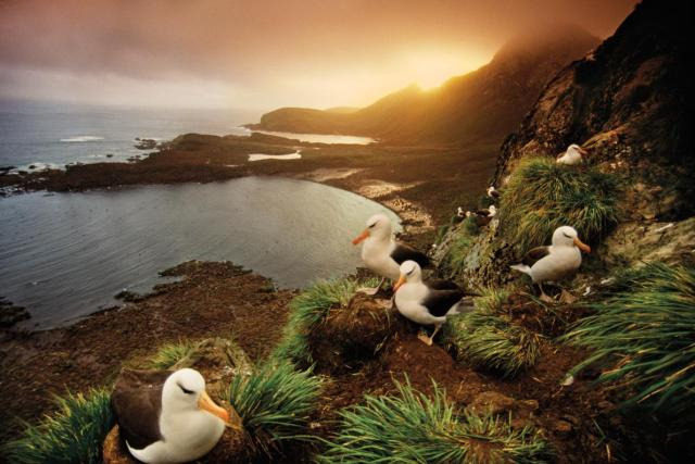 albatross-nesting-colony-south-georgia-island-ngsversion-1477423809839-adapt-1190-1