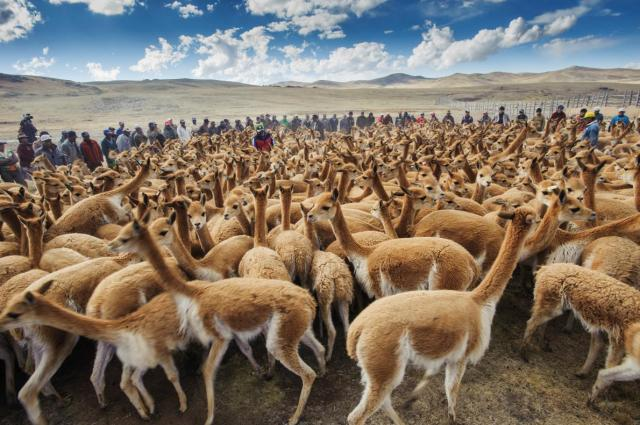 vicuna-herd-puno-region-peru-ngsversion-1477510615195-adapt-1190-1